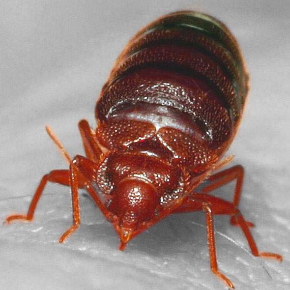 bed-bug