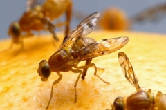 fruit-flies