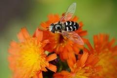 hornets2